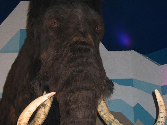Якутский мамонт сохранился как новенький благодаря чудо-бактерии?