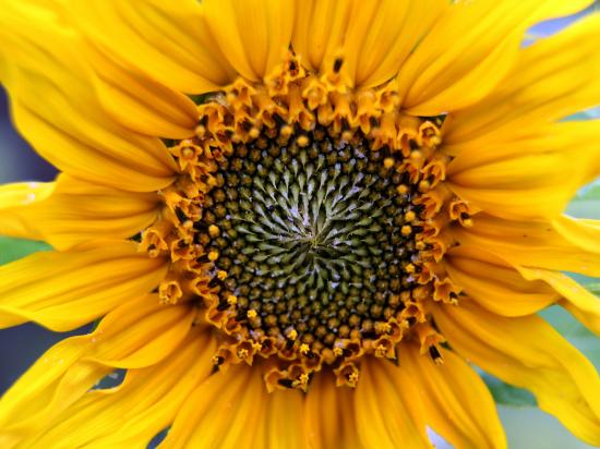 Ценхрус, амброзия и аллергия: украинские подсолнухи - в