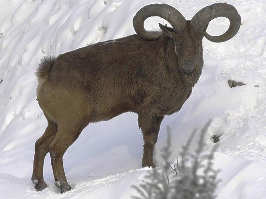 Астрадамовы страсти в год козы: Чубайса атаковал баран