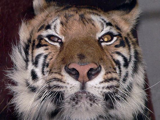 Амурский тигр Устин сбежал в Китай вслед за путинским протеже Кузей