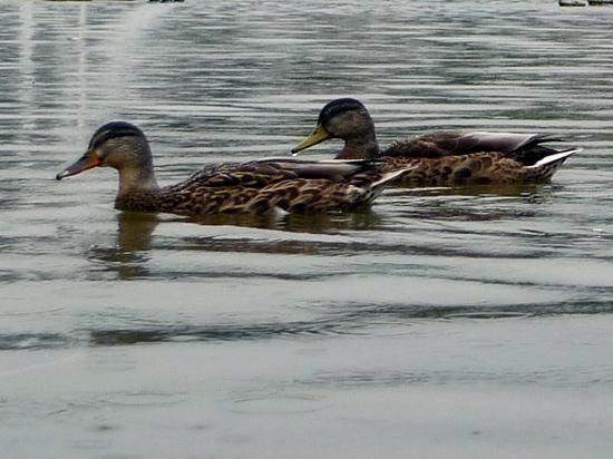 Погибшие в парке «Сокольники» утки могли заразиться опасной инфекцией