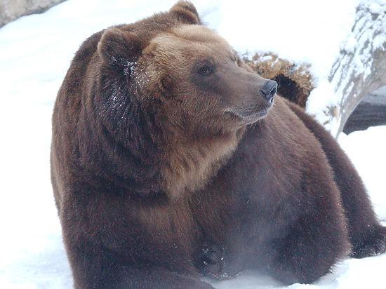 Не додавили: Норильский медведь чудом спасся от