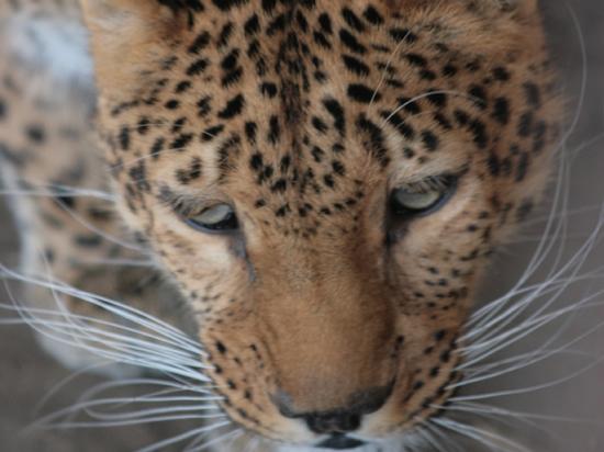 Леопарду изподвала недали умереть оттоски