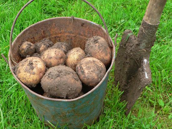 Когда сажать картошку в Подмосковье - далеко не последний