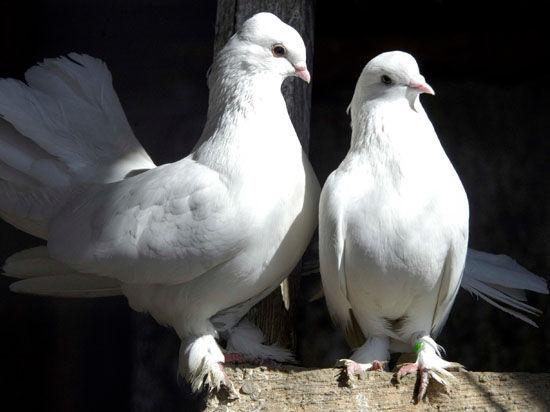 Российским заключенным разрешили разводить голубей