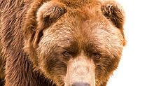 Медведь убил ягодника в Усть-Илимском районе Иркутской области