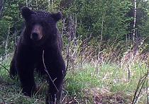 Жители обеспокоены растущей популяцией бурого медведя в Подмосковье