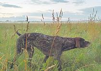 О чутье легавых собак