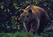 Охота на медведя на приваде: правда и вымысел