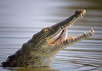 Леопард против крокодила: выиграла рептилия