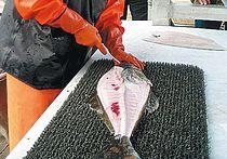 У берегов Норвегии поймали рекордного палтуса