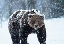 На Ямале медведи терроризируют горожан
